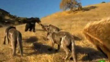 Depredadores Prehistóricos – El lobo gigante